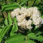 Sorbus aucuparia L. 'Rossica' (Рябина обыкновенная 'Rossica') 5