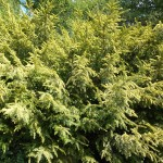Taxus baccata L. 'Aureovariegata' 1