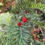 Taxus baccata L. 'Aureovariegata' 5