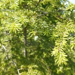 Tsuga canadensis (L.) Carrière 1